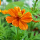 small bright orange flower by tomcat2170