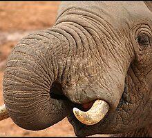elephant by Matthew Sime