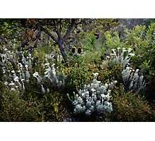 Flannel Flower Grove Photographic Print
