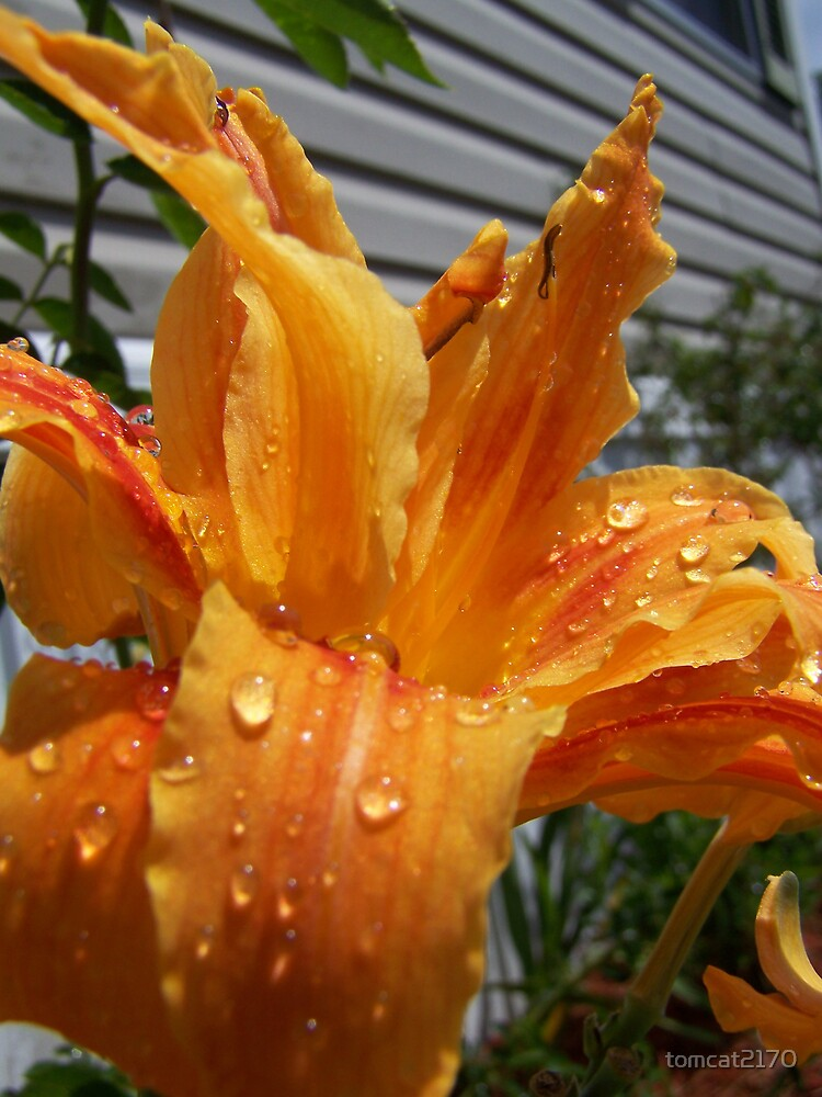 orange lilly by tomcat2170