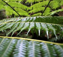 Ferns by Anon