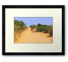 Emus on the track Framed Print