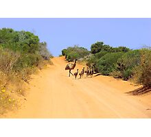 Emus on the track Photographic Print