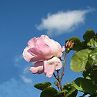 Pink Rose and Bud against Blue Summer Sky by SunriseRose