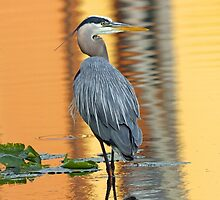 Great blue heron by jozi1
