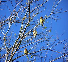 waxwings by tomcat2170