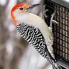 Red-Bellied Woodpecker by Jim  Hughes