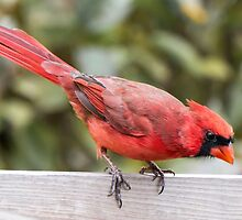 Male Cardinal by Jim  Hughes