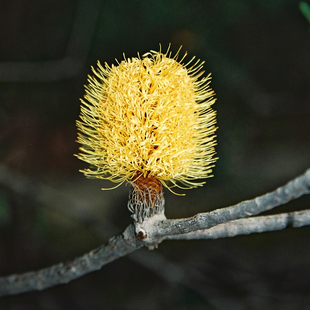 Banksia by bethgardner
