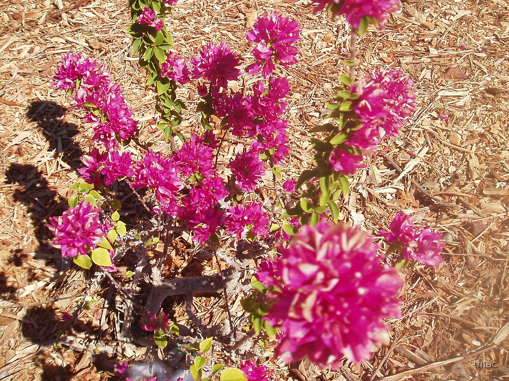 Tennant Creek, NT, Australia - Pink Flowers 1 by tmac