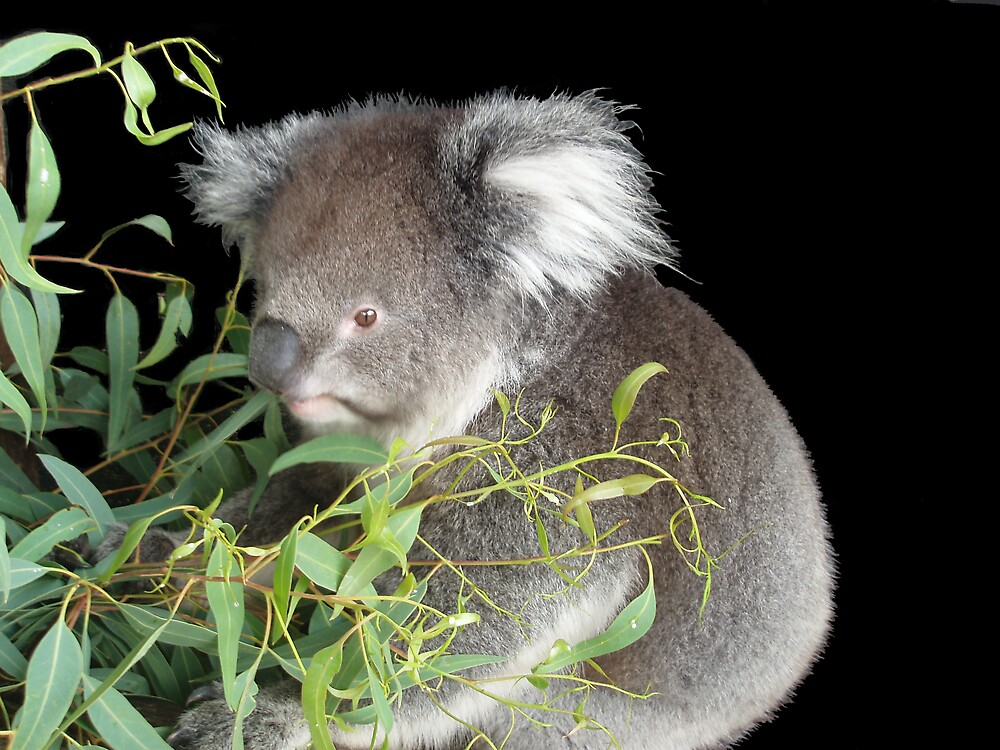 Koala on black by Carolyn