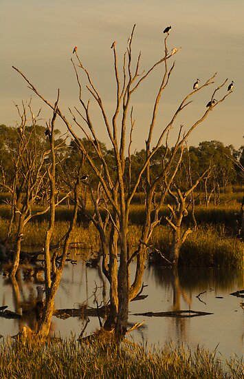 Ibis Rookery by daveoh