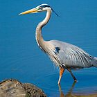 Great Blue Heron Fishing by Delores Knowles
