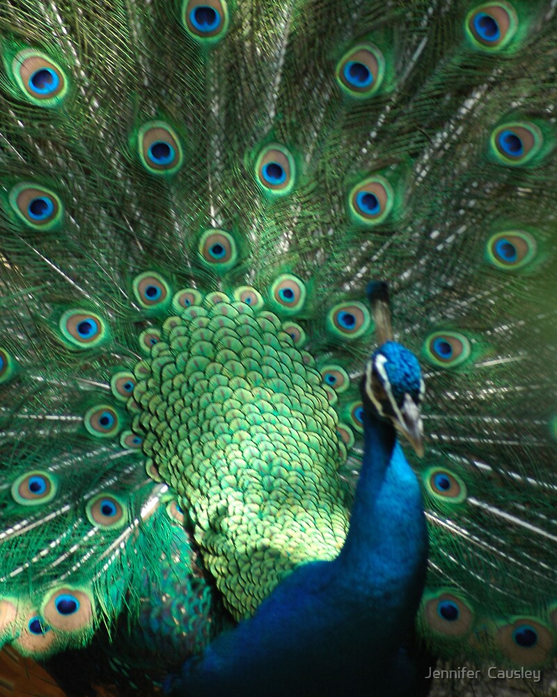Peacock by Jennifer  Causley