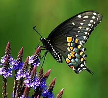 Black Swallowtail by Jayne