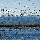 Snow Geese at Sacramento National Wildlife Refuge by Maurine Huang