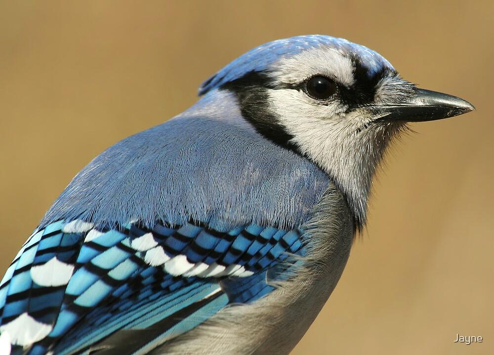 Blue Jay by Jayne