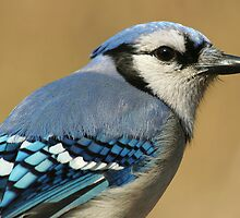 Blue Jay by Jayne