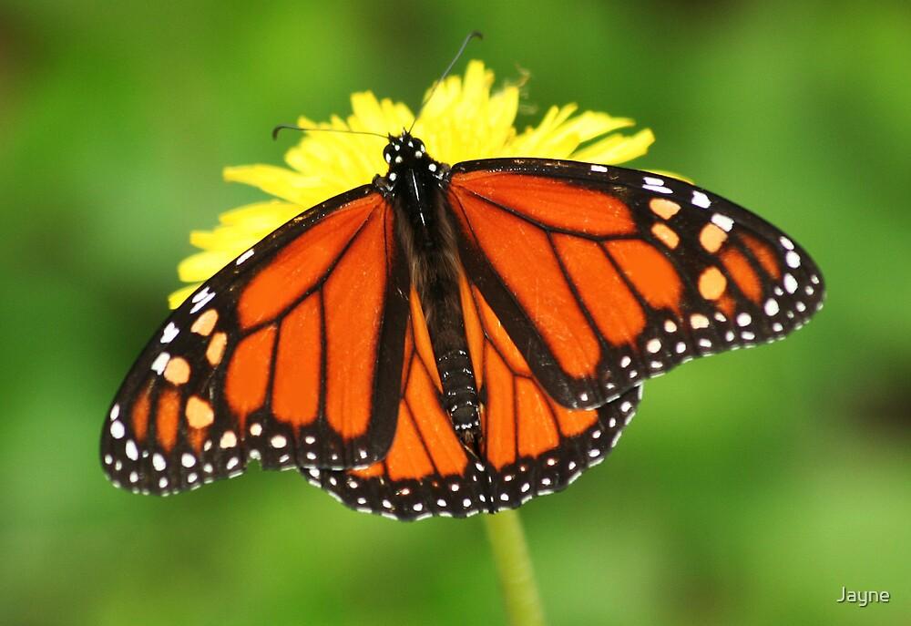Monarch by Jayne