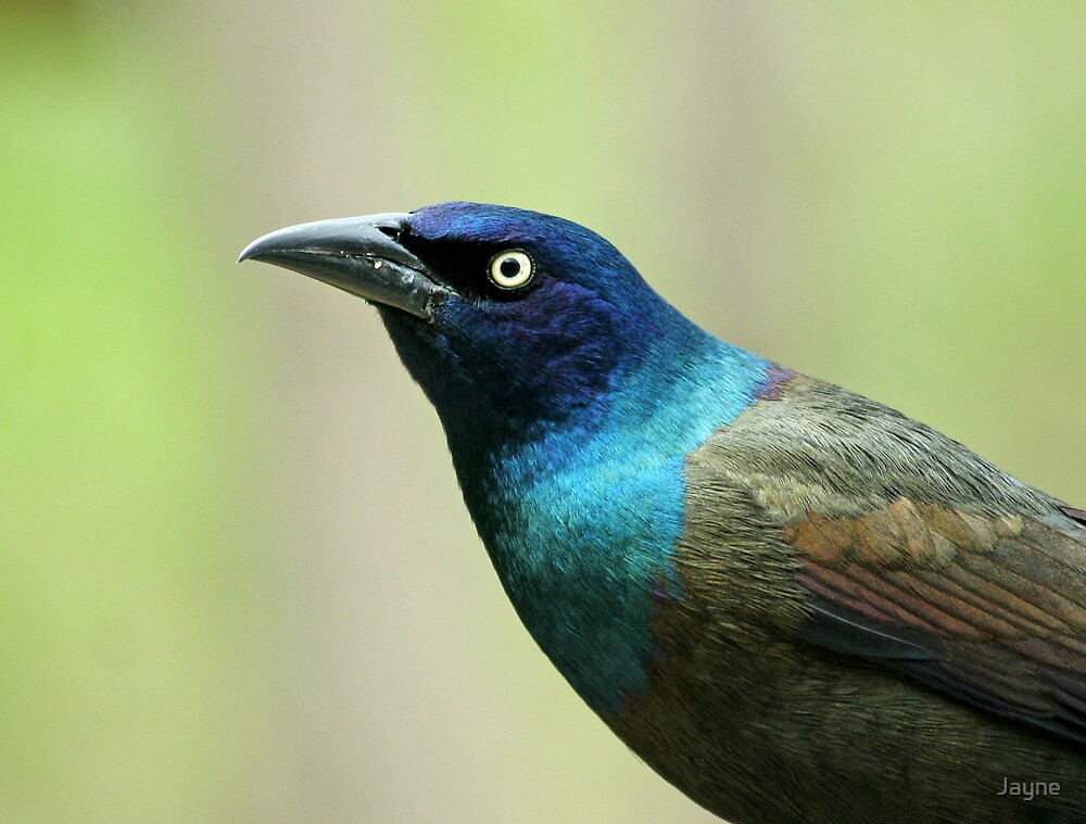Common Grackle by Jayne