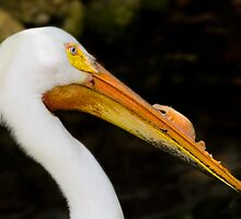 American White Pelican Head Portrait by Delores Knowles