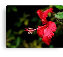 Dancing Red Hibiscus Canvas Print