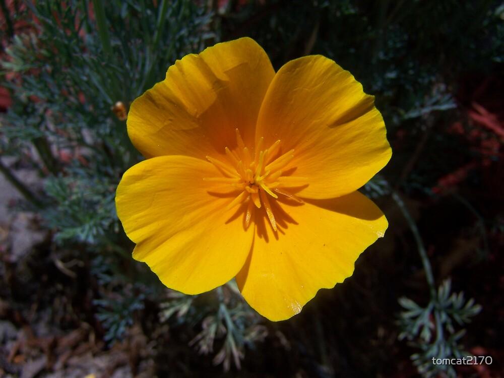 orange poppy by tomcat2170