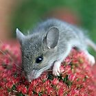 Field Mouse by timpollock