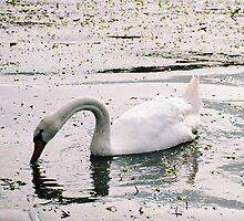 swan by Kostandina Zafirovska