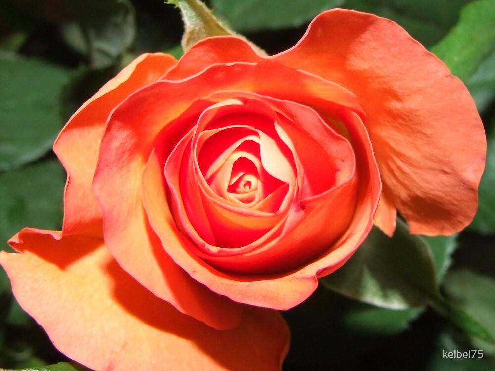 Orange Rose by kelbel75