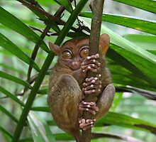 Tarsier watching, Philippines by cboar