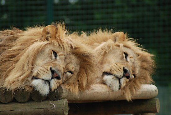 Lions by kmargetts