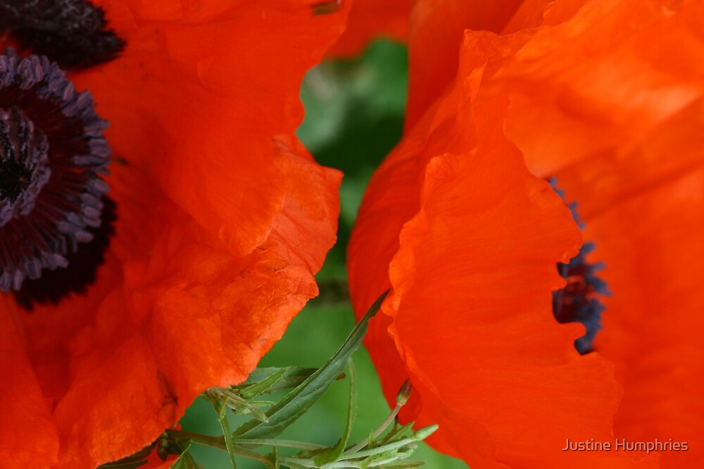 Red Poppies by Justine Humphries