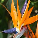 Bird of Paradise Flower by Melissa Park