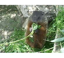 mommy groundhog eating leaves stem Photographic Print