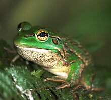 The Southern Bell Frog by tonilouise