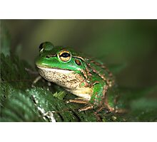 The Southern Bell Frog Photographic Print
