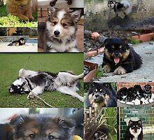 Finnish Lapphund Club of Victoria 2015 by FLCV