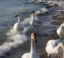 Family Walk on the Beach - Wild Trumpeter Swans, Lake Ontario, Toronto Sticker