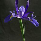 Iris by lawrencew