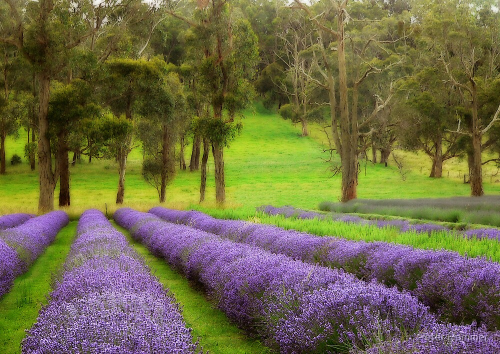 Lavender by Peter Hammer