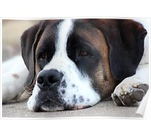 Just a Lazy Day Saint Bernard Poster