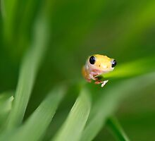 Yellow frog by Adam Seward