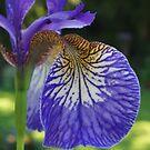 Purple Iris by Jen  Govey