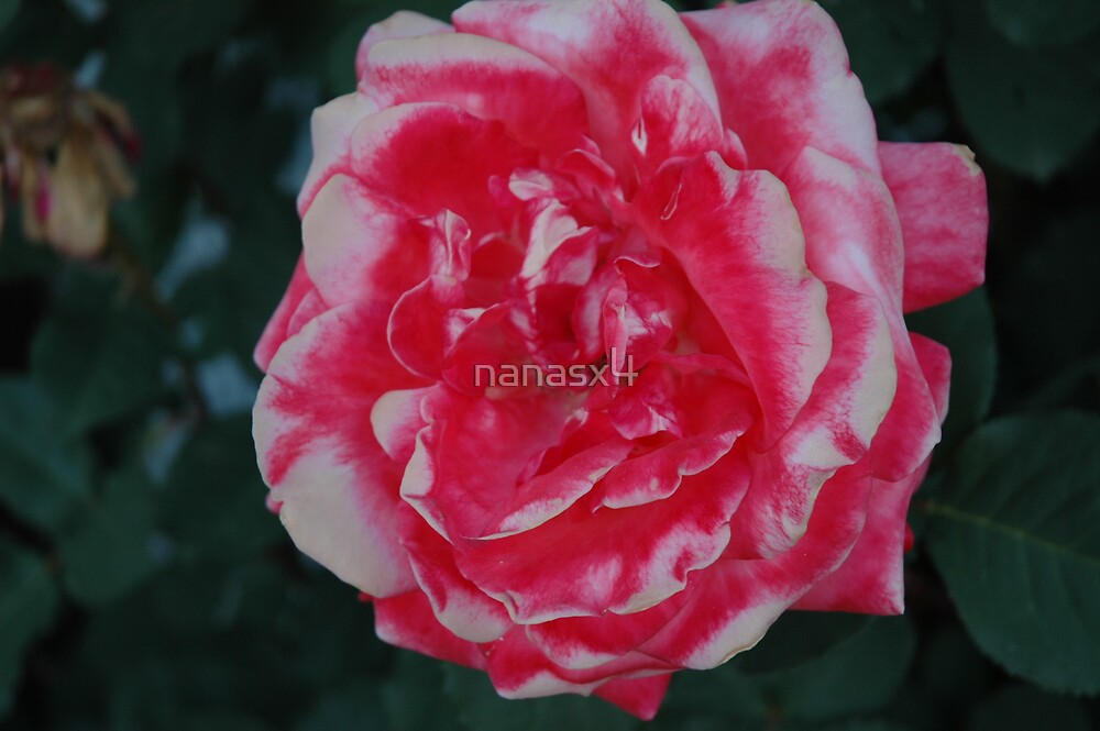 antique rose by nanasx4