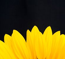 Yellow petals by veronicalynne