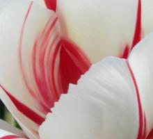 Peppermint Tulip Sticker