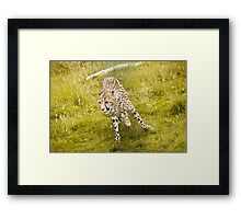 Wild Cats - Cheetah running Framed Print