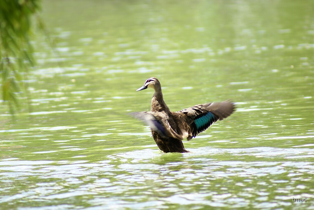A Duck in Water - Flapping 1 by tmac