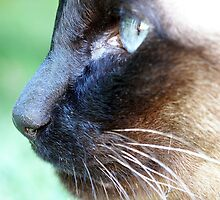 Siamese by Tiffany Dryburgh